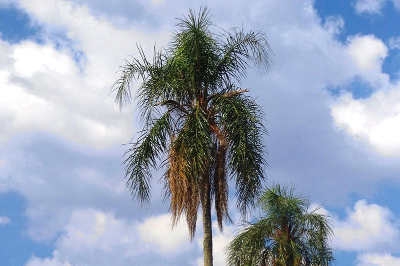 _0038_04A_Queen-Palm