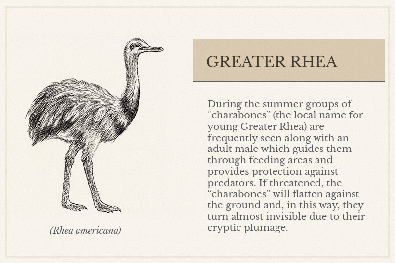 01A_-Greater-Rhea