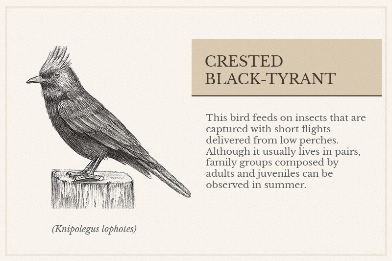 01C_Crested-Black-Tyrant