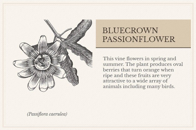 02C_Bluecrown-Passionflower
