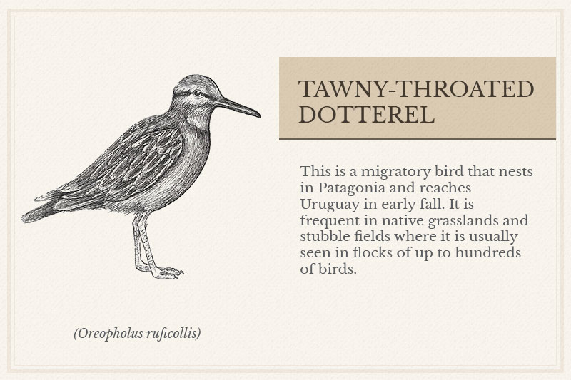 03A_Tawny-throated-Dotterel