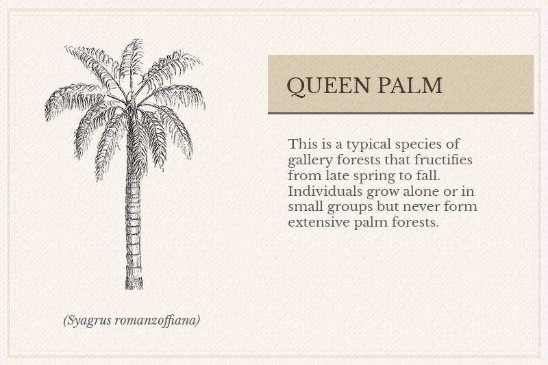 04A_Queen-Palm