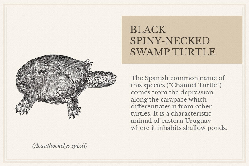 04B_Black-Spiny-necked-Swamp-Turtle