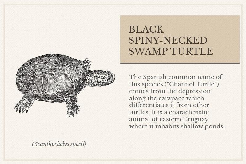 04B_Black-Spiny-necked-Swamp-Turtle