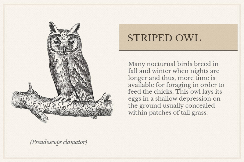 05A_Striped-Owl
