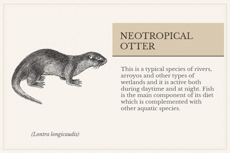 05C_Neotropical-Otter
