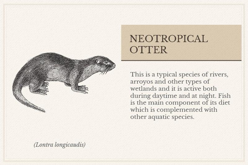 05C_Neotropical-Otter
