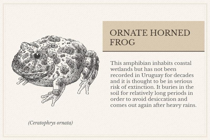 06A_-Ornate-Horned-Frog