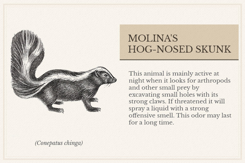 06B_Molina's-Hog-nosed-Skunk