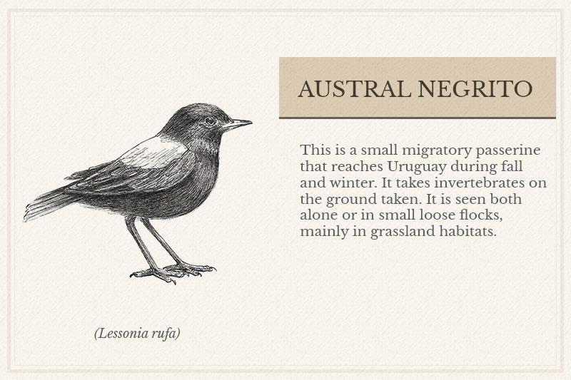 06C_Austral-Negrito