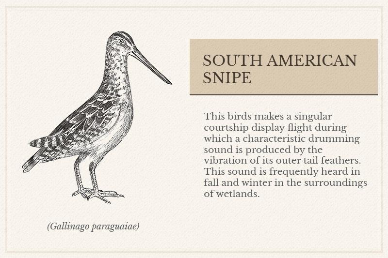 07B_South-American-Snipe