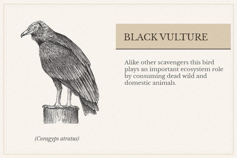 07C_-Black-Vulture