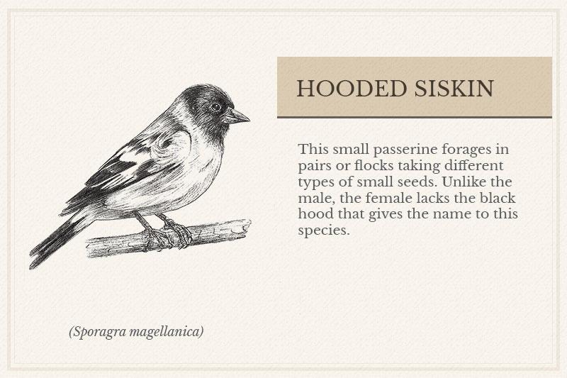 08A_Hooded-Siskin