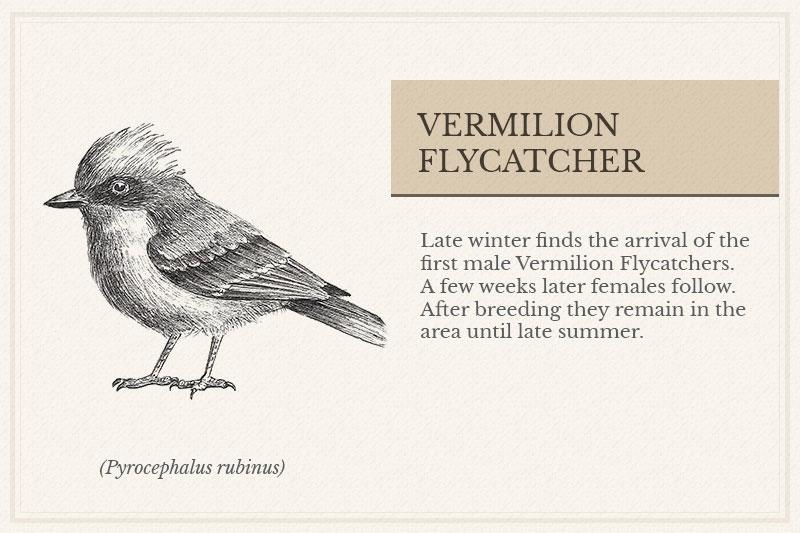 08B_Vermilion-Flycatcher