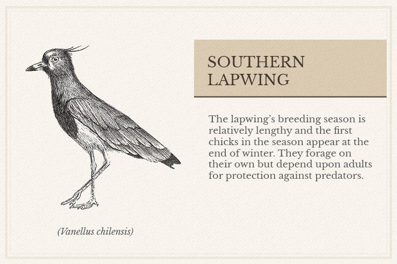 08C_Southern-Lapwing