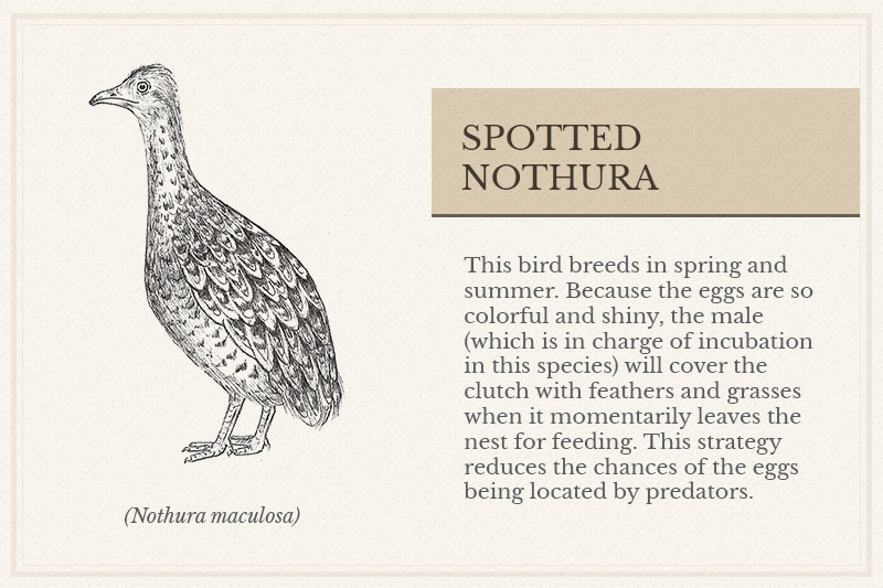 09A_Spotted-Nothura