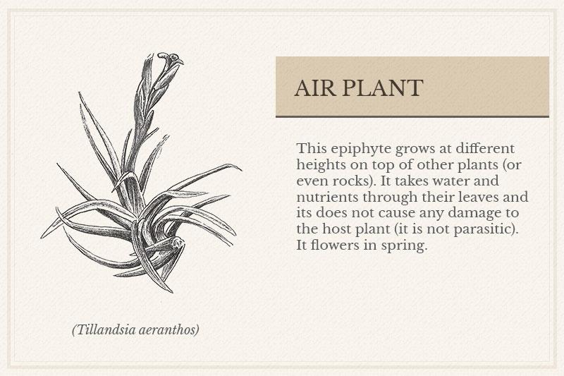 10A_Air-Plant
