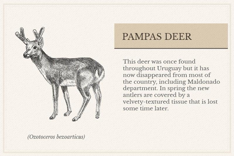 10B_Pampas-Deer