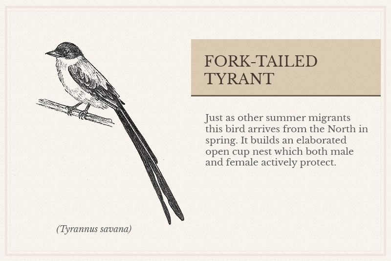 10C_Fork-tailed-Tyrant