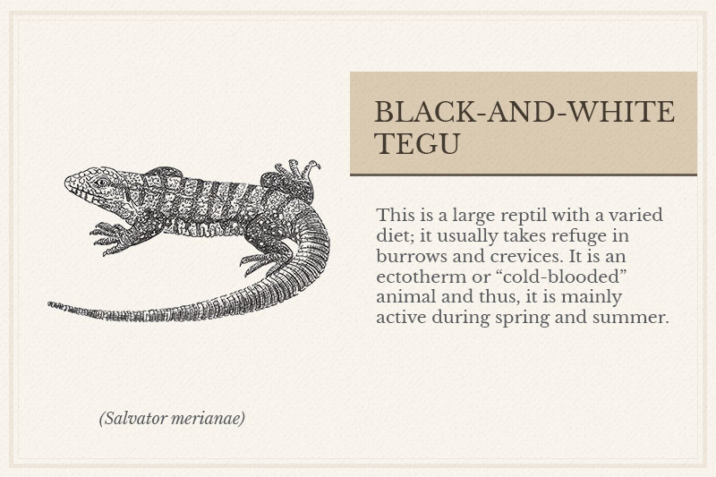11A_Black-and-white-Tegu