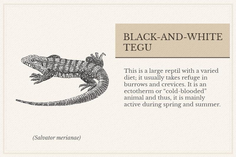 11A_Black-and-white-Tegu