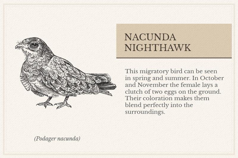 11C_Nacunda-Nighthawk