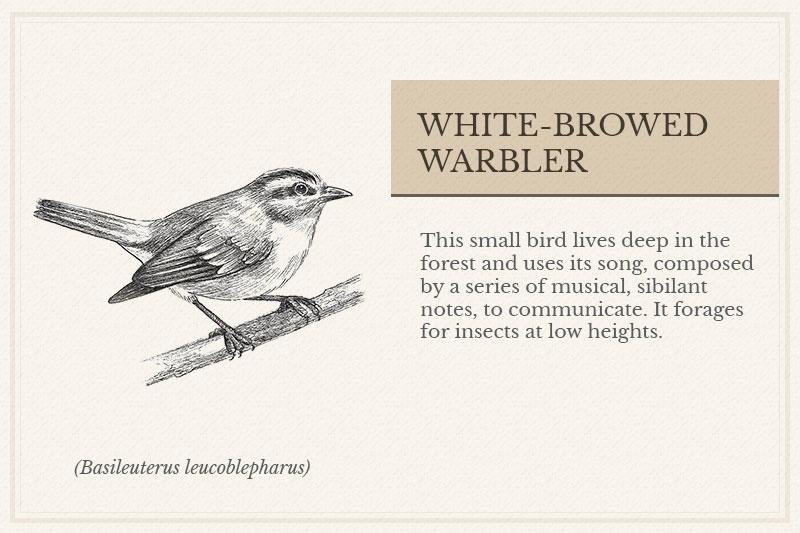 12A_White-browed-Warbler