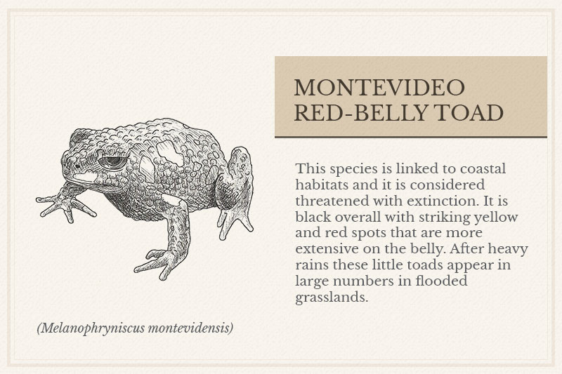 12B_-Montevideo-Red-belly-Toad