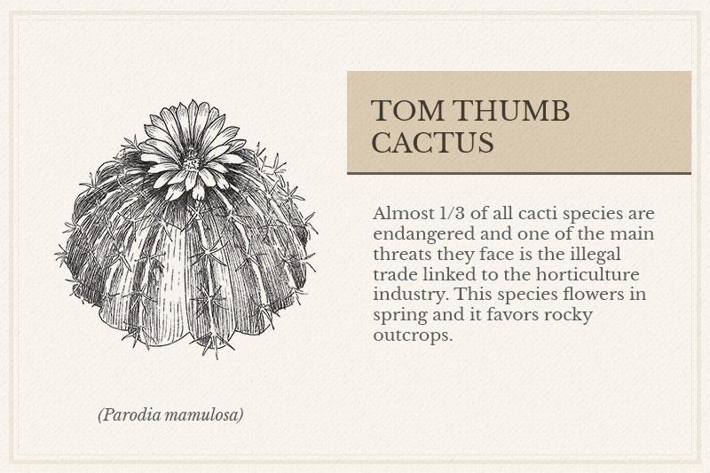 12C_Tom-Thumb--Cactus