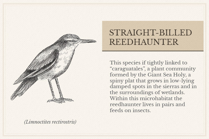 13A_Straight-billed-Reedhaunter