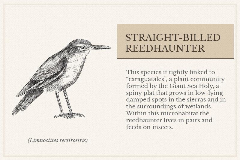 13A_Straight-billed-Reedhaunter