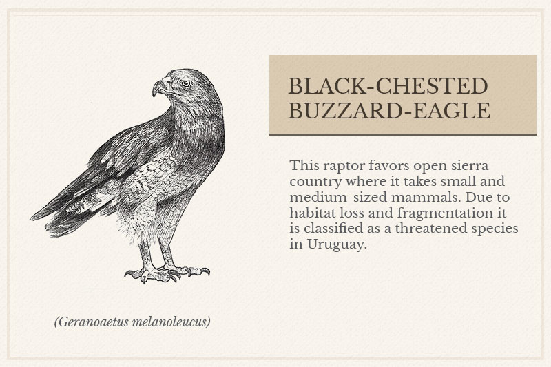 13B_Black-chested-Buzzard-Eagle