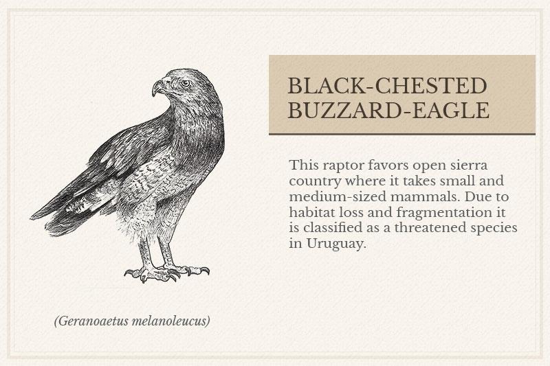 13B_Black-chested-Buzzard-Eagle