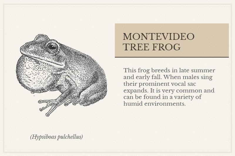 3B_Montevideo-Tree-Frog