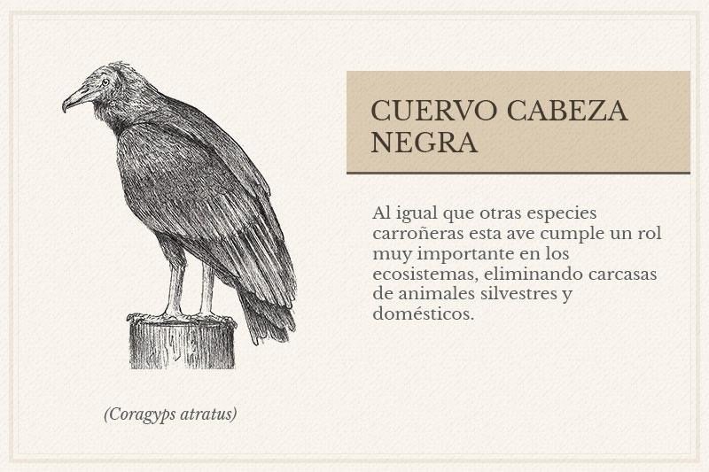 ES-07C_-Cuervo-Cabeza-Negra