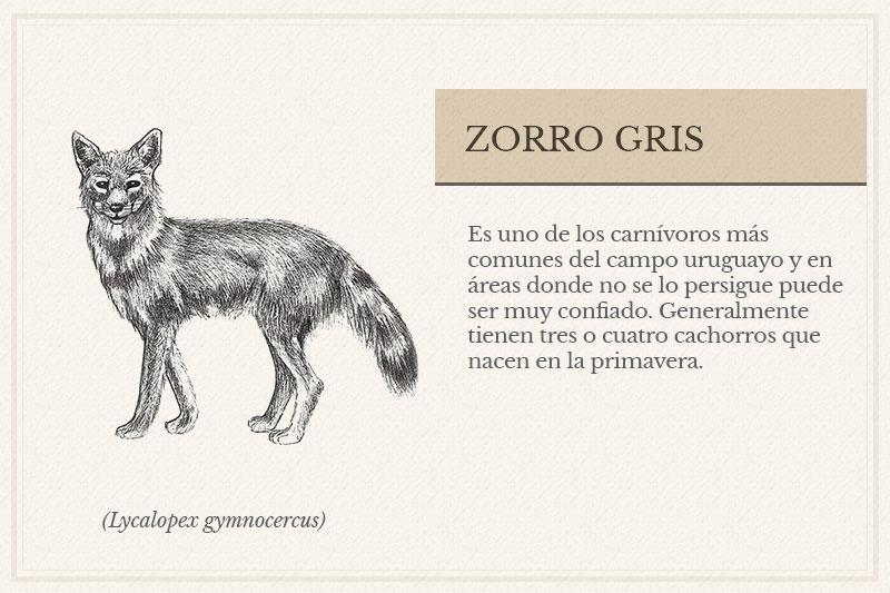 ES-11B_Zorro-Gris