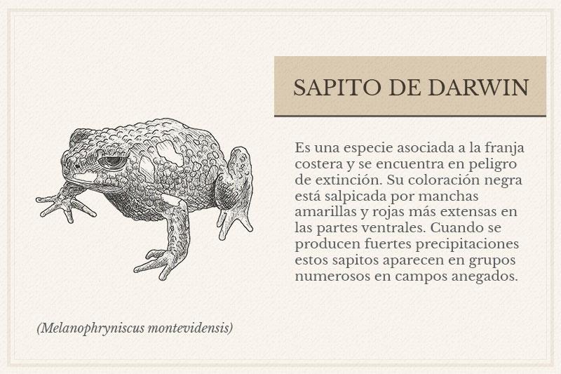 ES-12B_-Sapito-de-Darwin