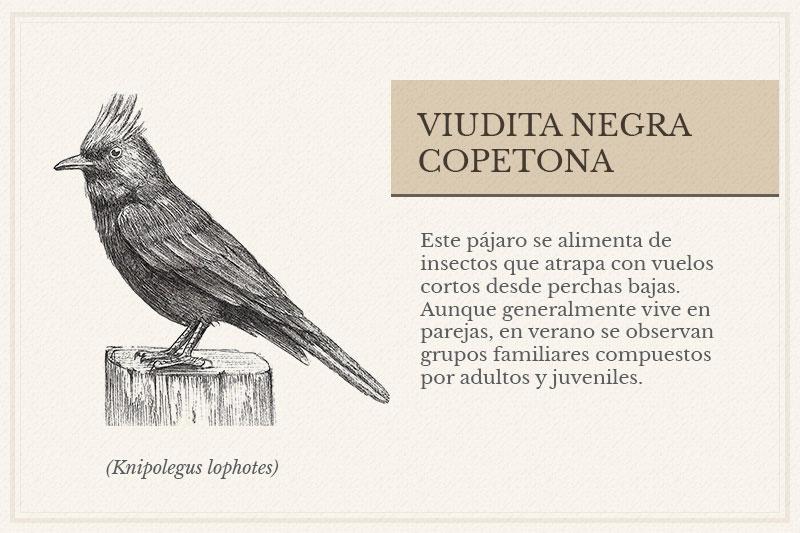 ES-1C_Viudita-Negra-Copetona