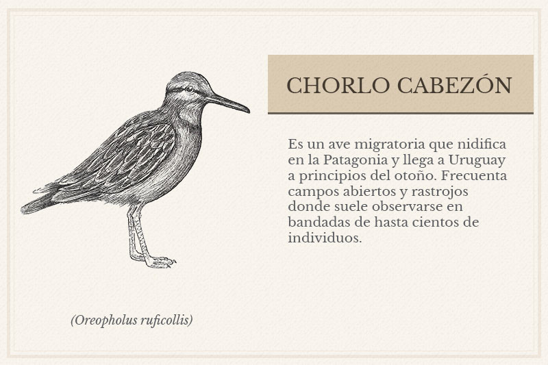 ES-3A_Chorlo-Cabezon