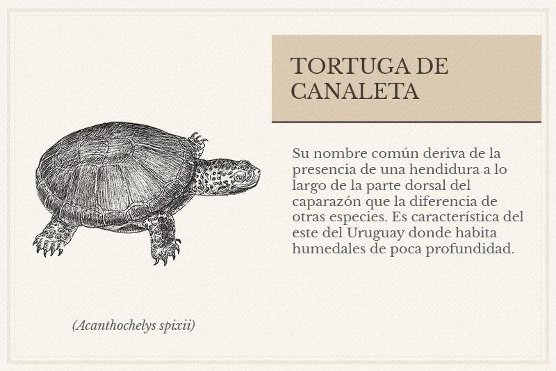 ES-4B_Tortuga-de-Canaleta