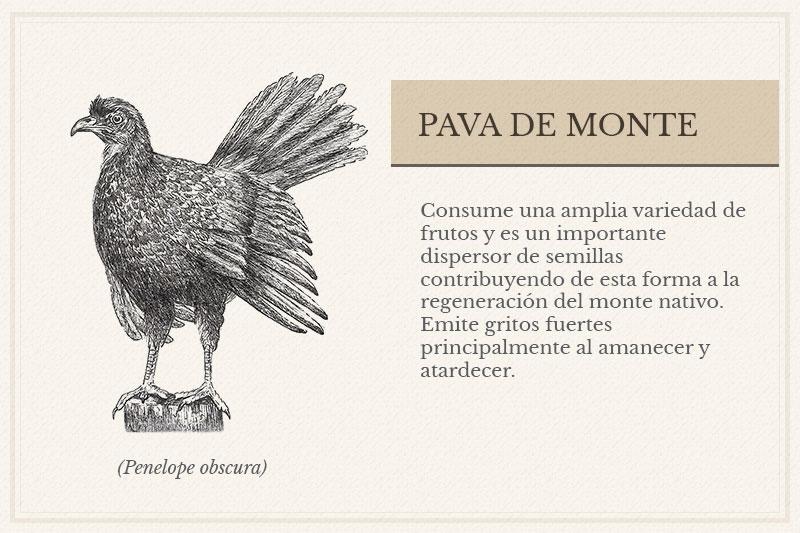 ES-7A_-Pava-de-Monte