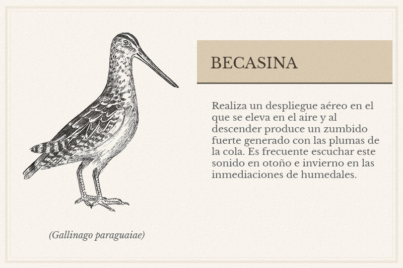 ES-7B_Becasina