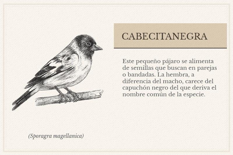 ES-8A_Cabecitanegra