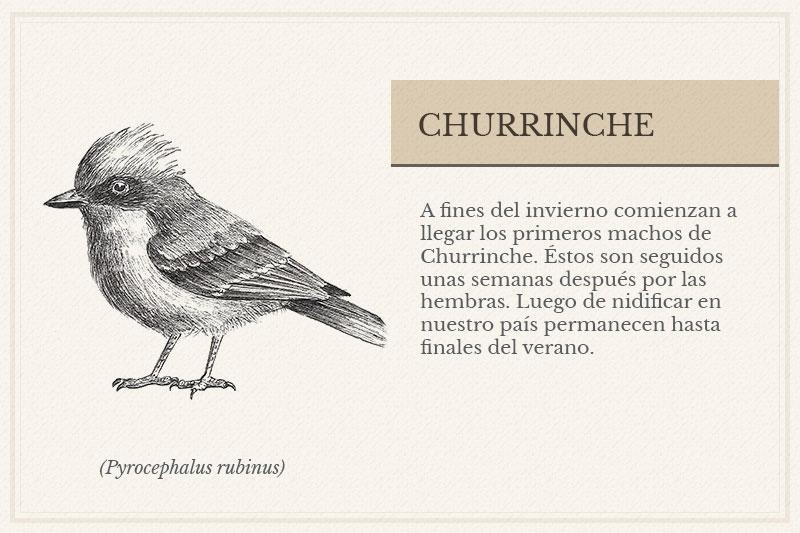 ES-8B_Churrinche