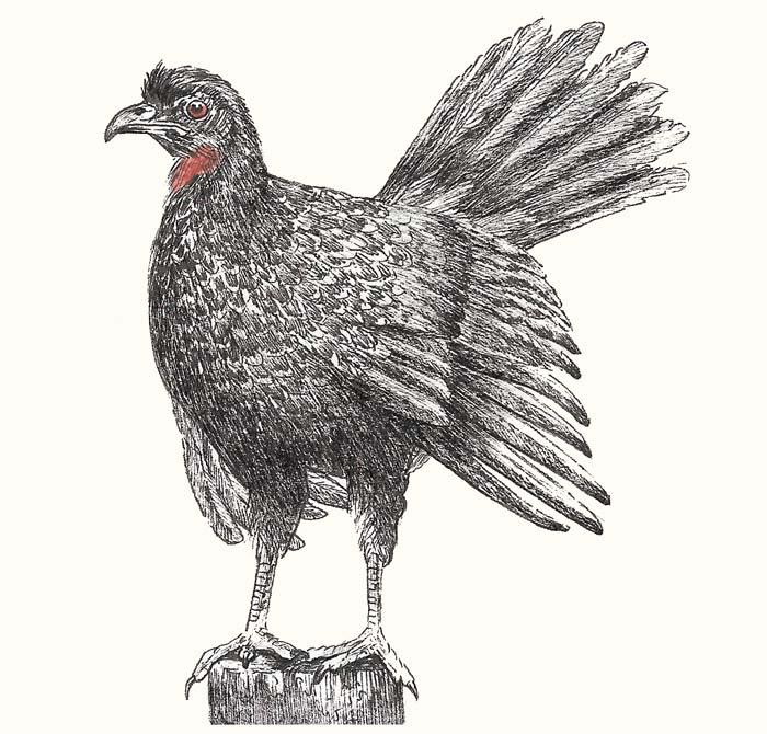 pavo-de-monte